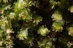 White earwort (Diplophyllum albicans)
